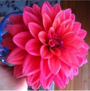 My dahlias in full bloom two years ago. This one I  gave to Joan bone.